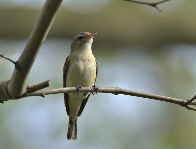 Photo:Warbling vireo By Andrew Weitzel