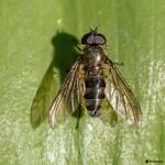 Cheilosia fasciata M