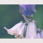 Puceron dans les bluebells