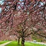 Kirschblüte 🌸 Immenhöven Langenhorn Nord
