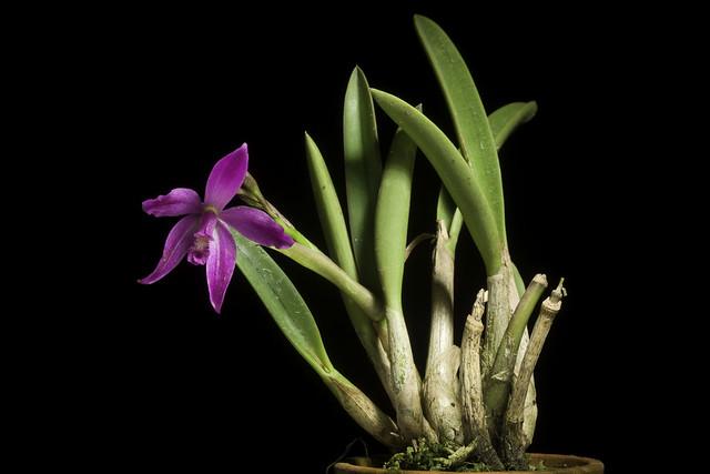Photo:Cattleya ghillanyi fma. flamea (Pabst) Van den Berg, Neodiversity 3: 7 (2008) By sunoochi