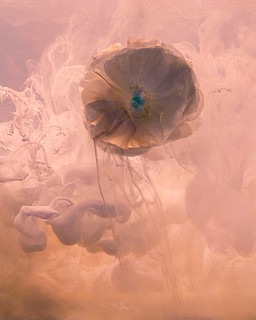 From the Series Submerged: Ranuculus in Pink