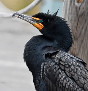 CORMORANT SHOTS, ACA PHOTO