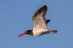 American Oystercatcher Inflight with an Oyster