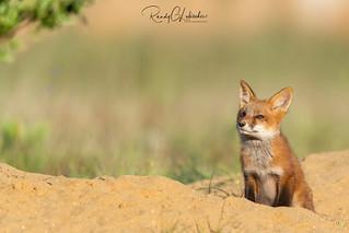 Red Fox | Vulpes Vulpes | 2021 - 15
