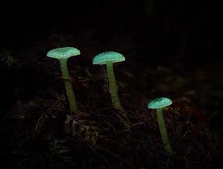 Gliophorus graminicolor