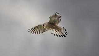 faucon Crec