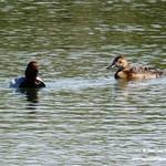 Aves en las lagunas de La Guardia (Toledo) 15-5-2019