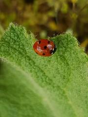 Marienkäfer auf Blatt einer Königskerze