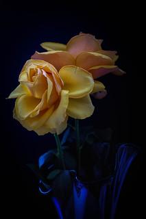 Orange Sorbet Roses