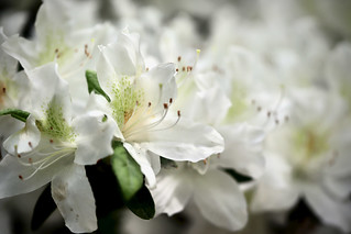 White Flower Series 3