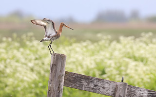 Spring is Here - Black-Tailed Godwit
