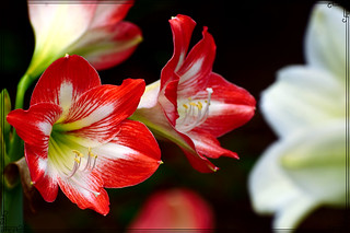 Amaryllis cherry(orange & white mix)
