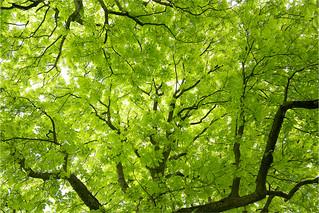 Blätterdach