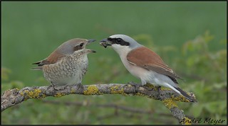 Pies-grièches écorcheurs / Red-backed shrike / Neuntöter / Averla piccola / Lanius collurio  Le 16 Mai 2021