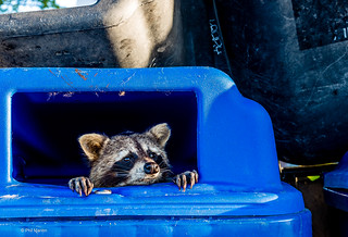People, please stop recycling your raccoons