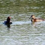 Aves en las lagunas de La Guardia (Toledo) 15-5-2021