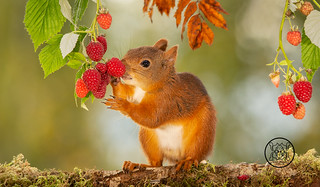 red squirrel is standing on a tree trunk eating raspberries
