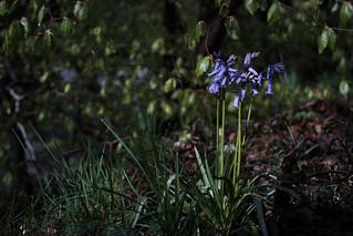 Light on Bluebells