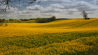 The fields turn yellow - as far as the eye can see