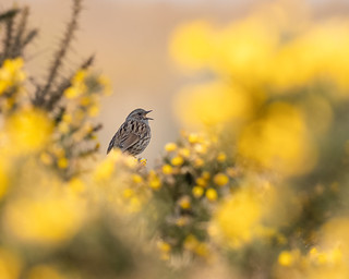 Dunnock in the gorse