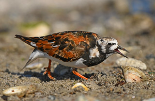 Angry Turnstone (Arenaria interpress) ... Penmarch, Finistère France. 2021/05/15