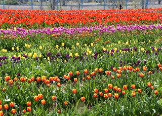 La cueillette de tulipes! The tulips picking!