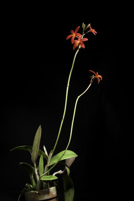 Photo:Cattleya milleri 'Red Butterfly' (Blumensch. ex Pabst) Van den Berg, Neodiversity 3: 9 (2008). By sunoochi