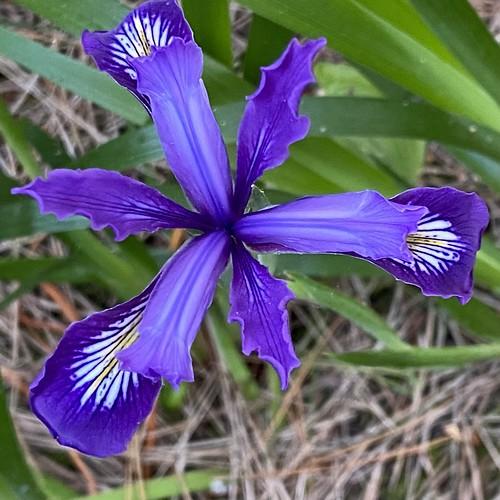 Douglas Iris, Jug Handle State Reserve, Mendocino