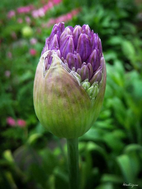 Photo:Purple Allium Buds - Bourgeons pourpre d'allium By monteregina