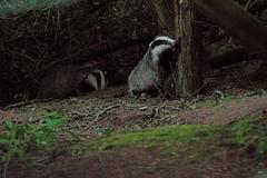Badger Shoot 19/5/2021