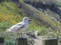 Nye Beach Seagull - Oregon Coast - May 2021