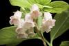 Photo:Rhododendron kroniae 'Gassan 2' Craven, Blumea 56(1): 34 (2011). By sunoochi