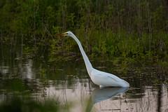 Egrets captured w/ D6