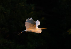 Great Egret captured w/ D6