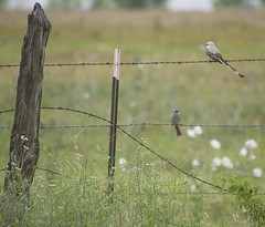 white-crowned sparrow and scissor-tailed flycatcher