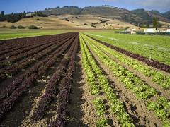 lettuce field 2, San Juan Bautista