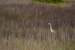 Great Egret in swampy field