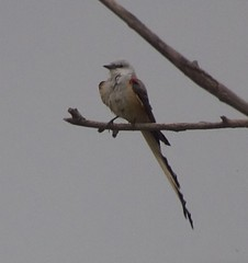 scissor-tailed flycatcher has been through some things