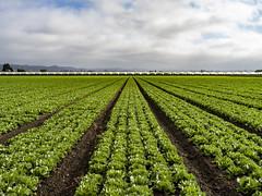 lettuce fields, San Juan Bautista