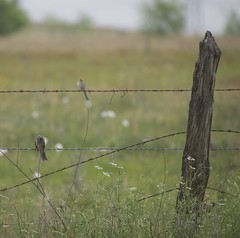 clay-colored and white-crowned sparrows