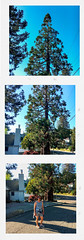 Big Tree (in thirds)!