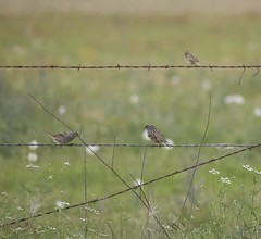 White-crowned sparrows with a Clay-colored sparrow