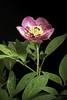 Photo:Paeonia obovata subsp. japonica 'Hinokuni - 火の国' (Makino) Halda, Acta Mus. Richnov., Sect. Nat. 4: 30 (1997). By sunoochi