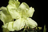 Photo:Rhododendron keiskei var. ozawae 'Yakushima' T.Yamaz., Fl. Jap. (Iwatsuki et al., eds.) 3a: 20 (1993) By sunoochi