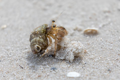 Long-claw Hermit Crab (1)