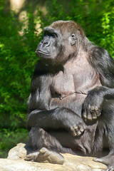 Gorilla morning