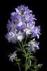 Photo:Polemonium kiushianum 'Aso' Kitam., Acta Phytotax. Geobot. 10(3): 179 (1941). By sunoochi