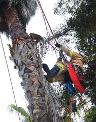 LAFD Rescues Man Trapped in Sherman Oaks Palm Tree