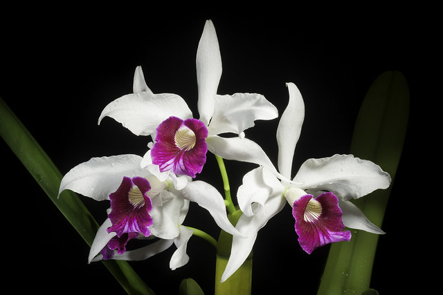 Photo:Cattleya purpurata fma. semi-alba 'Caixinha do Seara' (Lindl. & Paxton) Rollisson ex Lindl., Gard. Chron. 1855: 319 (1855). By sunoochi